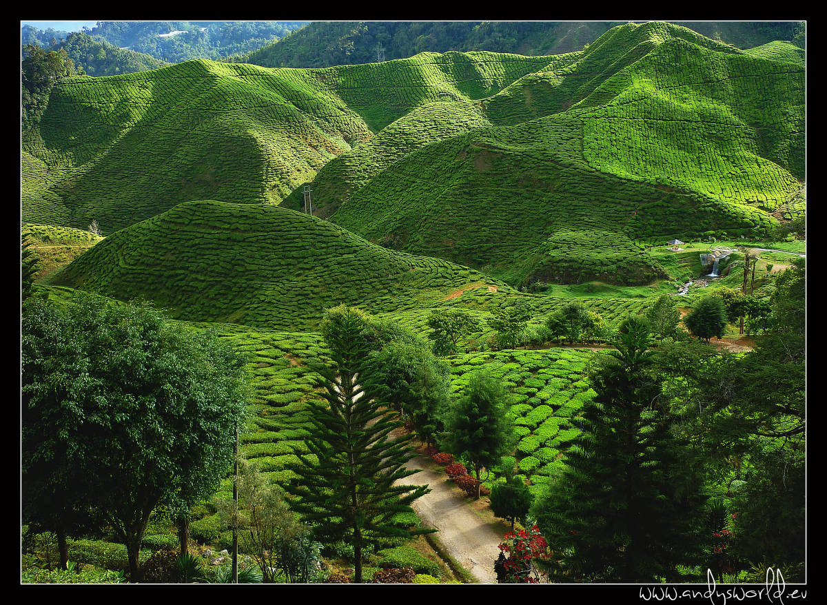 Cameron highlands15
